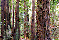 Path through tall redwood trees, Sequoia sempervirens, in Muir Woods old growth forest, mural