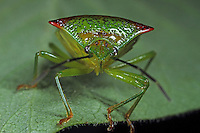 Stachelwanze, Wipfelwanze, Bauchkielwanze, Bauch-Kielwanze, Acanthosoma haemorrhoidale, hawthorn shieldbug