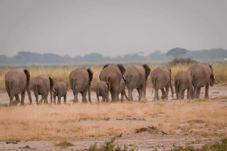 The complex social structure of elephants is organized around a system of herds composed of related females and their calves. A family unit consist on average 10-15 elephants led by the oldest female or matriarch.