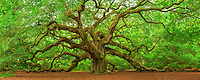 This majestic Southern live oak (Quercus virginiana) is estimated to be more than 500 years old, and covering over 17,000 square feet.