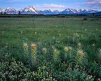 Field of Thistles below the Teton Range; Grand Teton National Park, WY