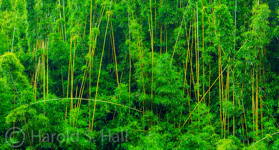 Rounding a curve on the rain soaked Road to Hana on the island of Maui, the abstract designs of a bamboo forest caught my eye.