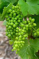 Unripe grapes. Vine leaf. Grenache. Domaine Boucabeille, Corneilla la Riviere, Roussillon, France