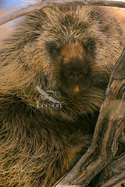 Male North American porcupine (Erethizon dorsatum)--also known as the Canadian porcupine or common porcupine--up in tree.  Western U.S., late fall.