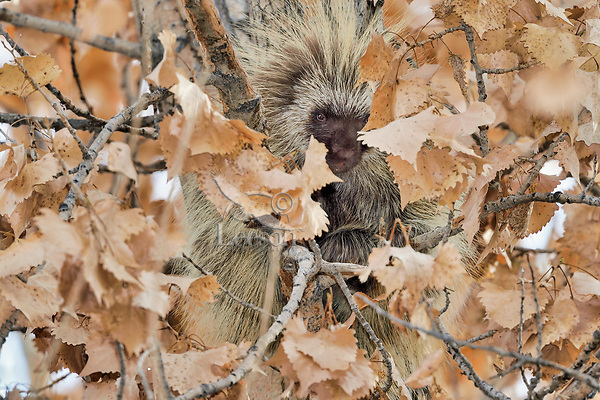 North American porcupine (Erethizon dorsatum)--also known as the Canadian porcupine or common porcupine--in cottonwood tree.  Western U.S., late fall.