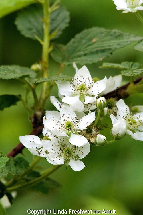 Highbush blackberry