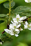 Highbush blackberry