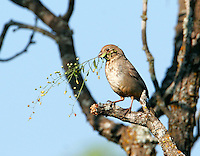 Canyon towhee building nest