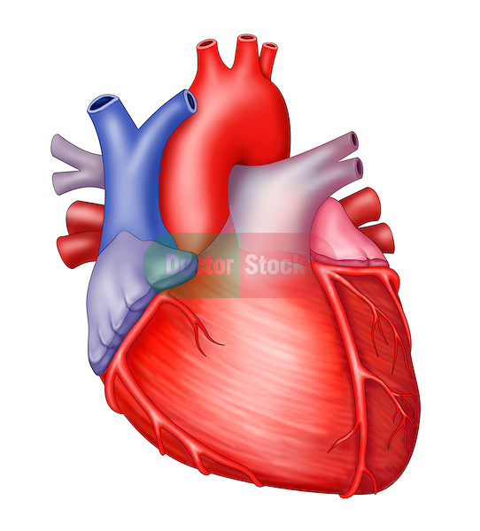 anterior view of heart