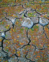 Curly dock growing on cracked earth along Hart Lake in Warner Valley Oregon