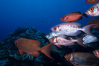 School of Blotcheye Soldierfish (Myripristis Berndti) and Redcoat Squirrelfish (Sargocentron rubrum) swimming on a coral reef, Le Sournois Reef, Noumea Lagoon, New Caledonia.