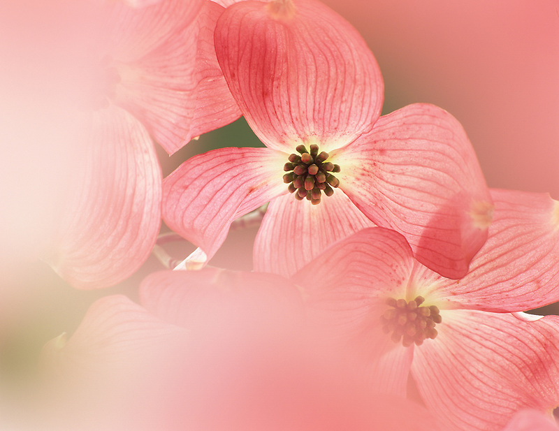 Red Dogwood blossoms. Near Eugene, Oregon