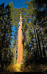 Giant Sequoia, Sequoiadendron giganteum, Grant Grove in Spring, King's Canyon National Park