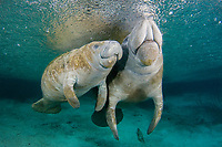 Florida Manatee, Trichechus manatus latirostris, A subspecies of the West Indian Manatee. A manatee mother and her young calf at the Three Sisters Springs. Crystal River, Florida