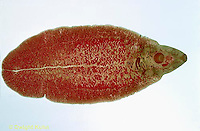 1Y03-010x  Sheep Liver Fluke - flatworm -Platyhelminthes - parasite/sheep - Fasciola hepatica