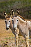 Wild donkeys, Bonaire, Netherland Antilles, Caribbean Sea, Atlantic Ocean