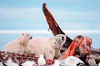 polar bears, Ursus maritimus, feeding on carcass of bowhead whale, Balaena mysticetus, 1002 Arctic Coastal Plain of the Arctic National Wildlife Refuge, Alaska ( Arctic ), polar bear, Ursus maritimus