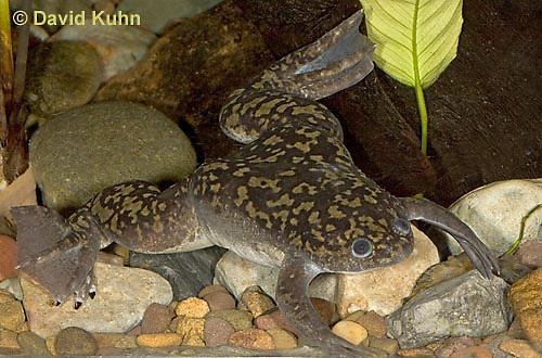 1216-07uu  African clawed frog - Xenopus laevis- © David Kuhn/Dwight Kuhn Photography.