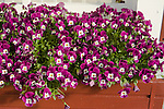 VIOLA 'FREEFALL PURPLE WING', PANSY