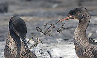 The flightless cormorant is one of many endemic species found in the Galapagos.  Here, a female accepts nesting materials from her mate.