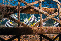schooling bannerfish, Heniochus diphreutes, fish caught in a bamboo fishing cage, fish trap, Apo Island, Philippines, Pacific Ocean