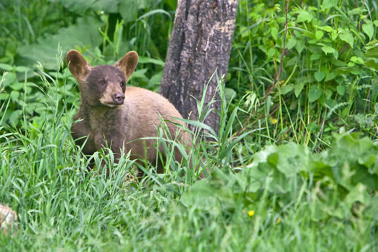 Cinnamon Black Bear cub watching from the edge of a forest