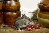 MU56-025z  Deer Mouse eating raspberries on kitchen shelf - Permomyscus maniculatus
