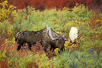 MM58  Bull Moose grazing in willows.  Alaska.  Fall.
