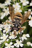 Wespen-Moderholzschwebfliege, Wespen-Moderholz-Schwebfliege, Moderholzschwebfliege, Blütenbesuch, Temnostoma vespiforme, Tarnung, Mimikry, Mimikri wegen Wespenähnlicher Zeichnung, Hover Fly, Hover-Fly