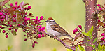 Chipping sparrow perched in a flowering crabapple tree