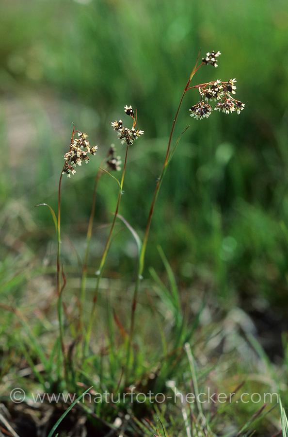 Braune Hainsimse, Luzula alpinopilosa