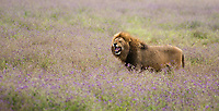 A male Lion, Panthera leo  melanochaita, yawns in Ngorongoro Crater, Ngorongoro Conservation Area, Tanzania