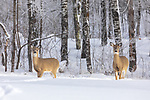 White-tailed doe and fawn walking in the deep snow of northern Wisconsin.