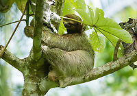 Three-toed Sloth (Brown-throated Sloth), Bradypus variegatus, in a tree in Manuel Antonio National Park, Costa Rica