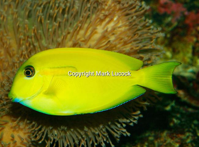 Orange-blotch Surgeonfish