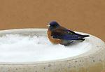 western bluebird,snow,birdbath,sweet,nature photo
