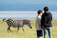 A Grant's Zebra, Equus quagga boehmi, walks past tourists on the shore of Lake Nakuru in Lake Nakuru National Park, Kenya