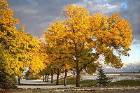 A row of Green Ash trees are in their full fall color following a light snowfall.