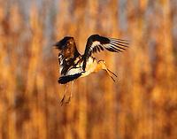 Black-tailed godwit flying