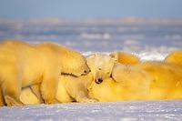 polar bears, Ursus maritimus, playing on the 1002 coastal plain of the Arctic National Wildlife Refuge, Alaska, polar bear, Ursus maritimus
