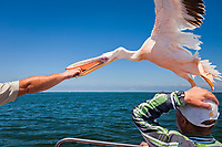 tourist feeding great white pelican, Pelecanus onocrotalus, Pelican Point, Walvis Bay, Namib Desert, Erongo Region, Namibia, Africa, Atlantic Ocean