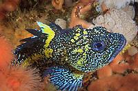 China Rockfish ( Sebastes nebulosus ) underwater in Haida Gwaii, British Columbia, Canada