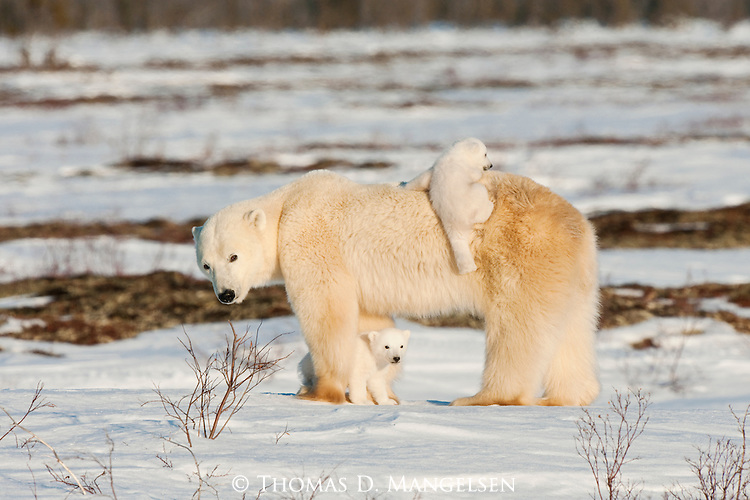 Born between November and February and weighing less than two pounds at birth, polar bear cubs will gain 20 to 30 pounds by the time they leave the den between February and April. For the next 10 to 15 days, the cubs play and gain strength for the long journey to Hudson Bay, where their mother will hunt seals. These cubs stay close to their mother for protection and warmth—one trying to hitch a ride on its mother's broad back.