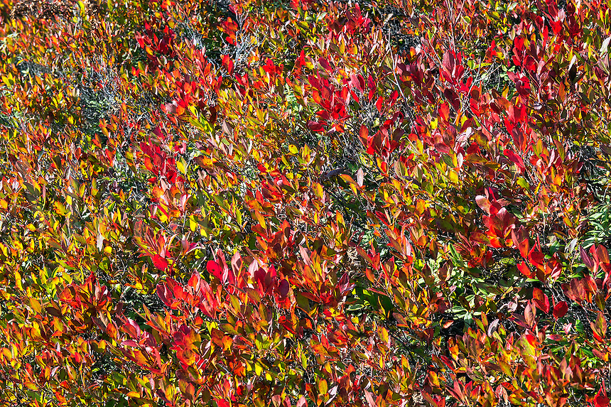 Colorful autumn ground cover, Maine, USA