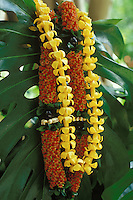"""Puakenikeni and """"""""firecracker"""""""" lei with kukui nut and ti leaf, a beautiful and fragrant Hawaiian tradition"""