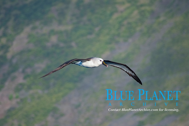 Atlantic Yellow-nosed Albatross (Thalassarche chlororhynchos chlororhynchos) adult bird soaring. Off the Island of Tristan Da Cunha, South Atlantic Ocean