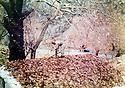 Iraq 1988 <br /> A peshmerga making a camouflage on a shelter next to Ruchin river near the Turkish border  <br /> Irak 1988 <br /> Un peshmerga camouflant un abri a cote de la riviere Ruchin, pres de la frontiere turque