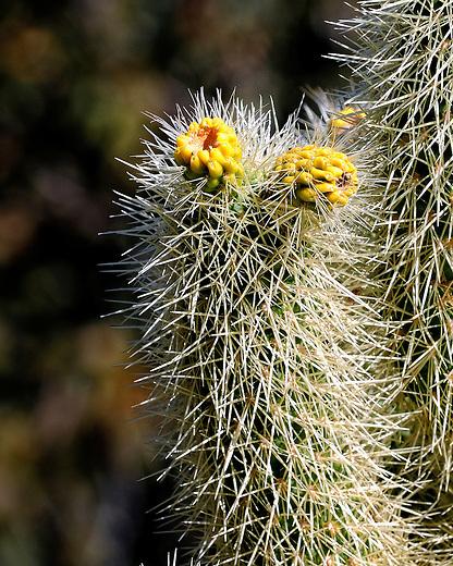 Hedgehog cactus readi to bloom