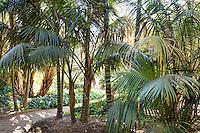 Path through grove of Kentia palm trees in Lotusland garden; aka Thatch Palm, Sentry Palm, Paradise Palm (Howea forsteriana)