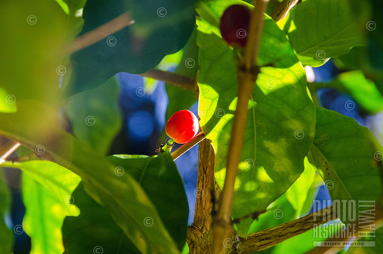 Close-up of one red coffee cherry on tree at Kaleo's Koffee orchard in Pa'auilo Mauka on the Big Island.